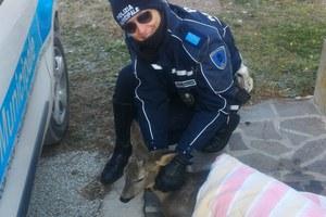 Recuperato un capriolo ferito in via Celletta dell'Olio